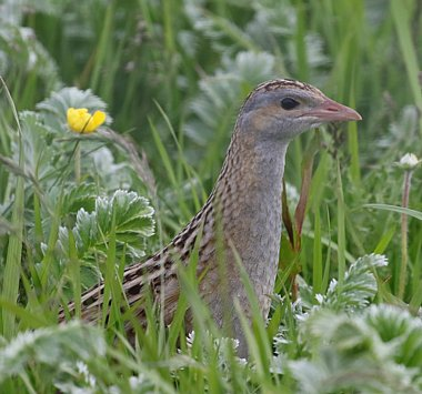 Birdwatching Holiday - Highlands and Corncrake