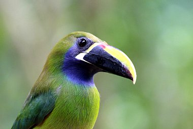Birdwatching Holiday - NEW! Costa Rica with Easy Walking