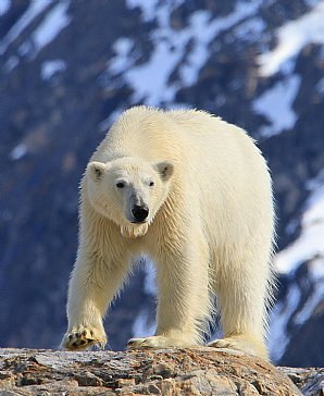 Birdwatching Holiday - NEW! Svalbard- Kingdom of the Polar Bear!