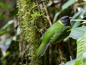 Birdwatching Holiday - New! Colombia
