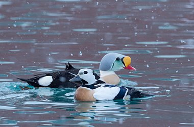 Birdwatching Holiday - NEW! Finland and Norway in winter