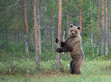Birdwatching Holiday - NEW! Finland - Bears and Wolverines