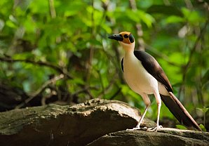 Birdwatching Holiday - NEW! Ghana