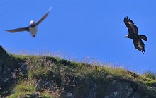 Birdwatching Holiday - Outer Hebrides and the Shiant Isles - July