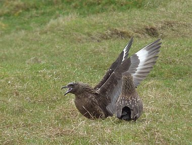 Birdwatching Holiday - Shetland Island Explorer - May/June