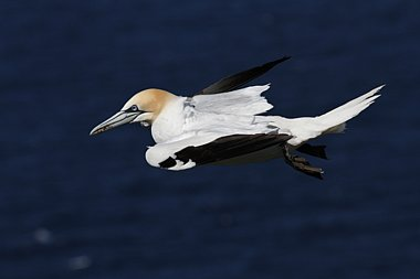 Birdwatching Holiday - Shetland in Spring for birders