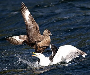 Birdwatching Holiday - NEW! Shetland Wildlife in Summer