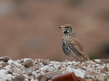Birdwatching Holiday - NEW! Western Sahara